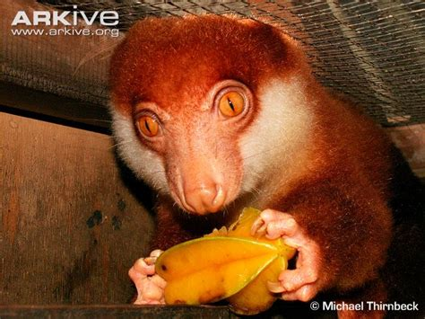 Black-spotted cuscus videos, photos and facts ...