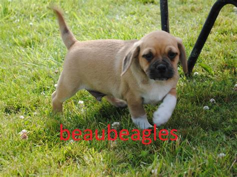 puggle dogs f1 puggle puppies available now llanybydder carmarthenshire pets4homes