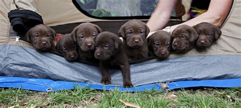 4 week lab puppy 4 week chocolate labrador puppies 2010 03 10 our m flickr