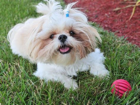 how often should you wash a shih tzu bathing a shih tzu step by step