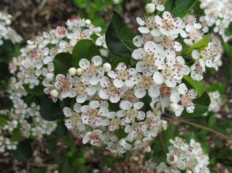 chokeberry blossoms aronia arbutifolia florida native shrub can be used as a small tree