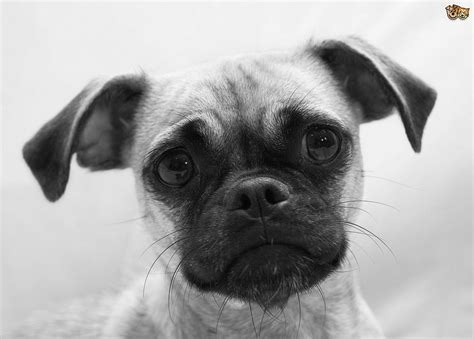 hybrid pug chug breed information buying advice photos and facts pets4homes