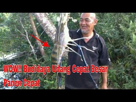 Pakan Udang Lobster Alami teknis sukses budidaya udang air tawar dan budidaya uda