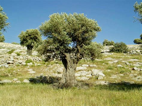 tree in bible permaculture in the bible temperate climate permaculture