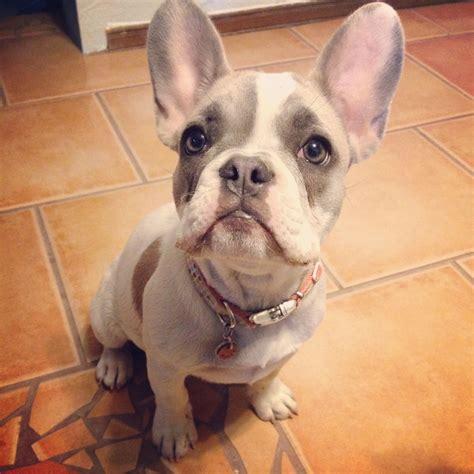 blue pied fawn french bulldog dog pinterest fawn