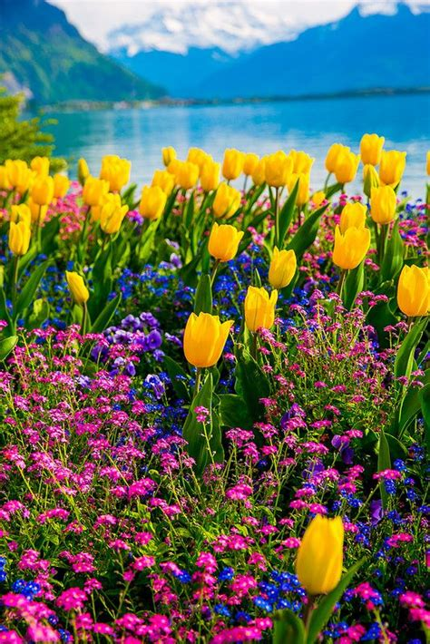 Geneva Flowers 8 tulips of switzerland swiss alps lake geneva and