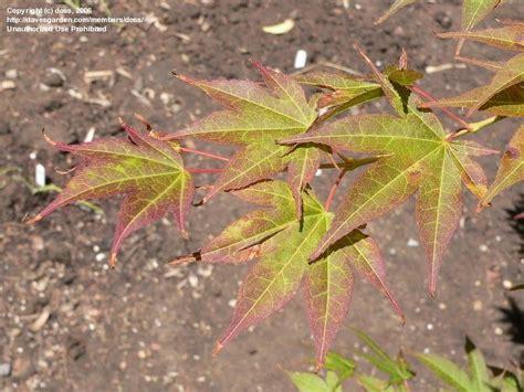 plantfiles pictures japanese maple tsukushigata acer palmatum by growin