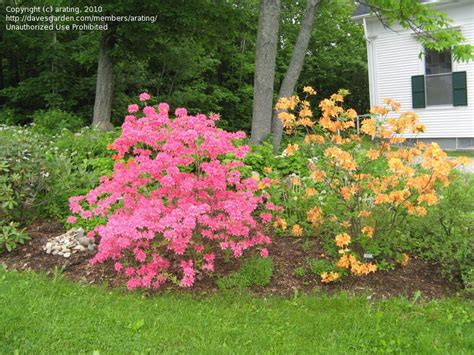 Northern Light And Garden by Northern Light Azaleas Shrubs For Shade