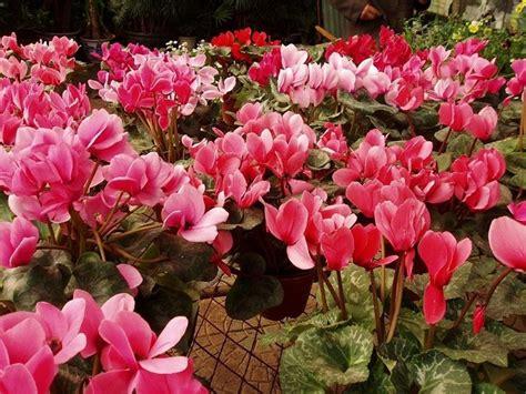 piante con fiori rosa pianta con fiori rosa fiori di piante pianta dai fiori