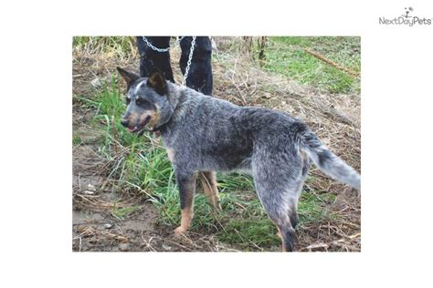 queensland blue australian cattle blue heeler puppy for sale near bend