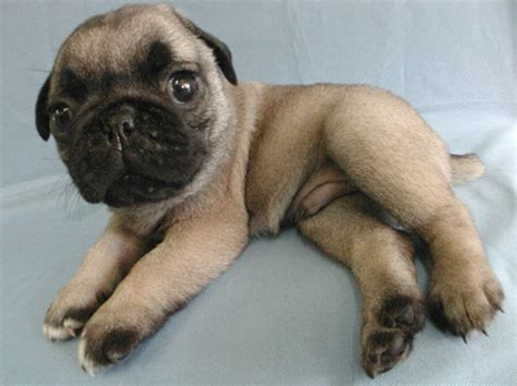 all about pug dogs all types of pug dogs breeds picture