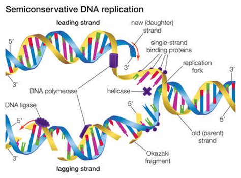 stock illustration in semiconservative dna replication