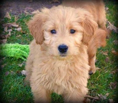 goldendoodle puppy hypoallergenic hypoallergenic hypoallergenic puppy shelby