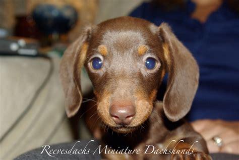 miniature dachshund puppies reevesdachs miniature dachshunds