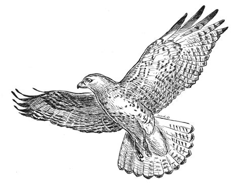 How To Draw Red Tailed Hawk Tailed Hawk Coloring Page