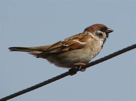 picture 3 of 8 sparrow passeridae pictures images