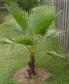 mexican fan palm tree pictures