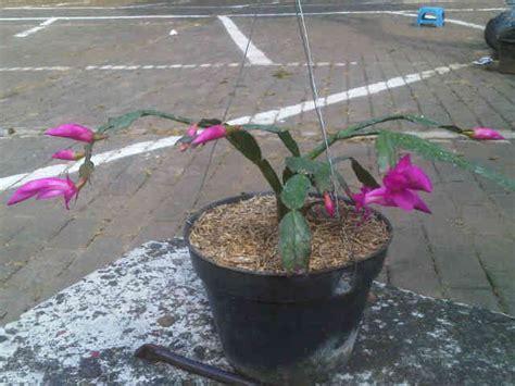 Bibit Bunga Wijaya Kusuma tanaman wijaya kusuma kepiting ungu