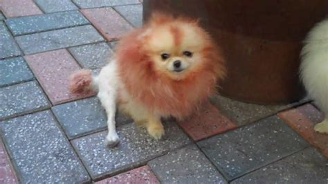 pomeranian hair dye in korea