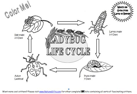 ladybug life cycle coloring page ladybug coloring picture 5 lifecycles foodchain