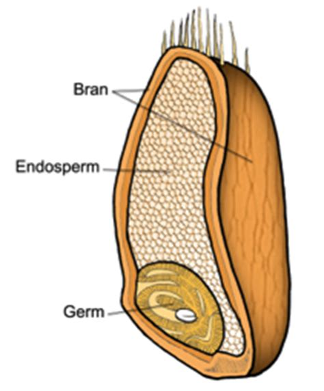 whole grain kernel whole grain kernel diagram whole grain anatomy elsavadorla