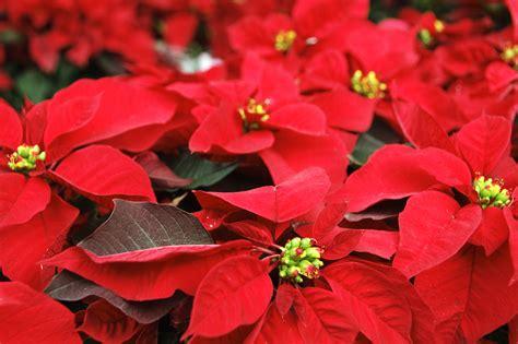 imagenes flores de nochebuena nochebuena flor de la navidad gobierno gob mx