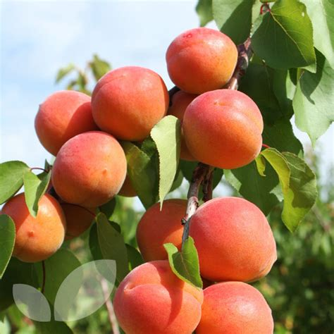 apricot fruit trees apricot tomcot 174 fruit trees for sale blackmoor nursery