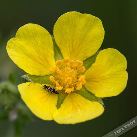 bloemen herkennen aan blad viltganzerik potentilla argentea gele wilde bloemen