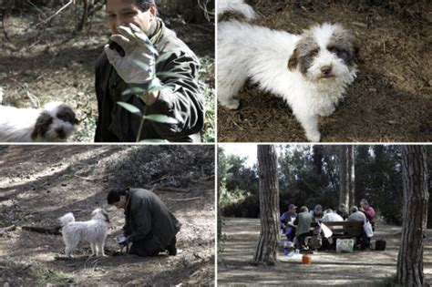 how to your to hunt truffles how to teach your to hunt for truffles