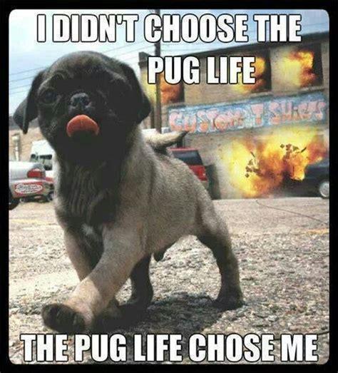 pug chose me the pug chose me puppies dogs c