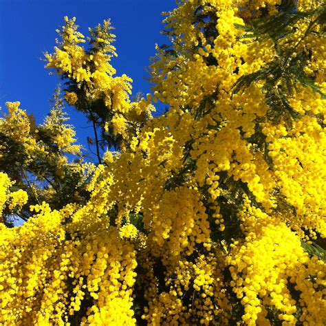 mimosa fiore acacia dealbata un fiore dai tanti significati tulipred