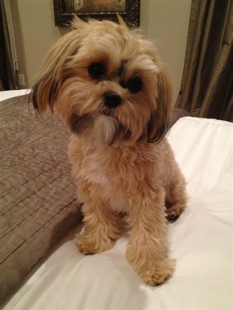 shorkie dog different hair styles 1000 images about yorkie mixes on pinterest yorkies