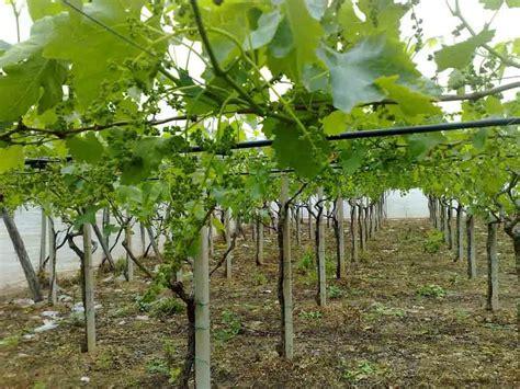 uva da tavola globe uve da tavola concimi e fertilizzanti per la cura delle