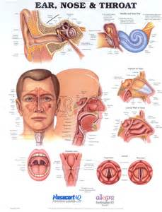 Ear Nose And Throat Understanding The Ear Nose And Throat Naturopathic