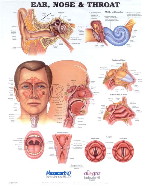 nose diagram image gallery nostril diagram