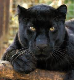 what color is a panther pantheres