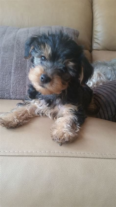 micro yorkie puppies for sale uk tiny terrier puppies for sale telford shropshire pets4homes