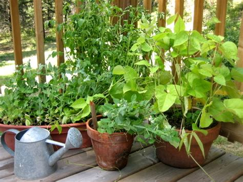 ideal vegetables  grow    pot  container