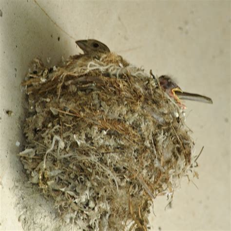 house finch nest house finch nest