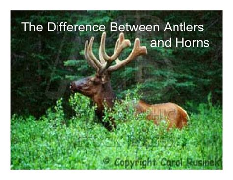 Horns And Antlers what is the difference between horns and antlers