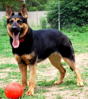 best golden retriever breeders east coast east german german shepherd breeders dogs our friends photo