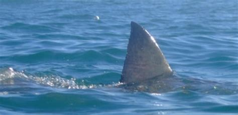 sinking boat put in bay great white sharks in nantucket ma waters