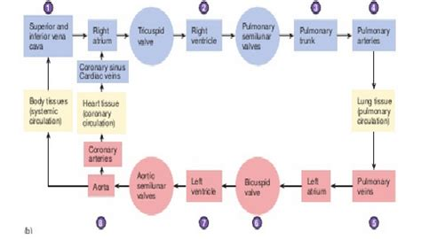blood flow through the diagram step by step order of blood flow through the diagram