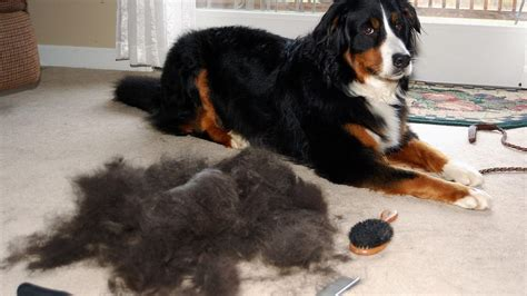 How To Help Shedding Dogs by The 5 Best Vacuums For Owners These Actually Work