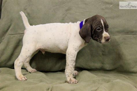 german shorthaired pointer puppies illinois german shorthaired pointer puppy for sale near rockford illinois 61429688 60d1