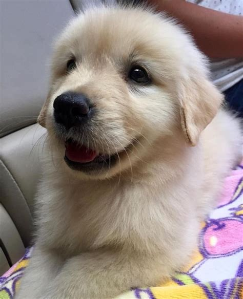www golden retriever puppies 25 best ideas about retriever puppies on