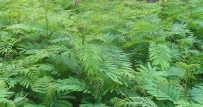 Jual Bibit Tanaman Kaliandra mister bibit hortikultura kaliandra pakan ternak yang