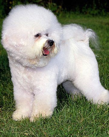 small hypoallergenic breeds 49 best which is right for you images on animals breeds and