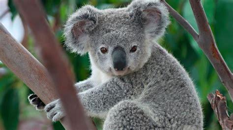 koala hängematte australia indignante caso de maltrato animal contra un