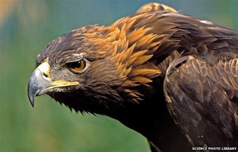 where did the golden live golden eagle stock image
